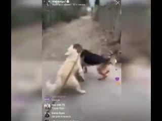 Гуф натравил своего пса на соседскую собаку и снимал это все на видео ради подписчиков