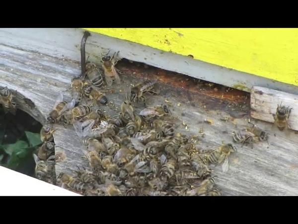 Безбожники ради денег выращивают отравленный картофель, от которого погибают пчёлы