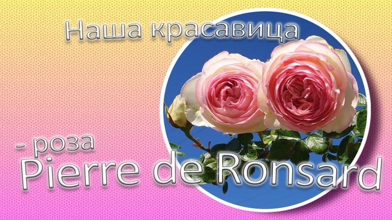 Наша красавица роза Pierre de Ronsard Сад Ворошиловой