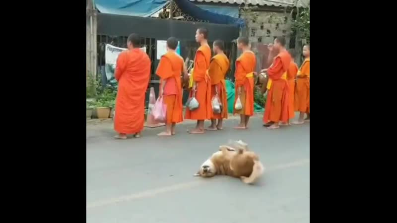 A Very Enlightened Animal Dog is Full of Joy as Monks in a Laos Temple Stop for Prayer