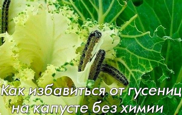 Как избавиться от гусениц на капусте без химикатов