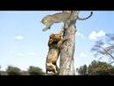 Удивительно🦁Львиная Охота Леопарда на 🌲 дерево, Лев Против Гиены, Антилопы и Зебра_full HD.mp4..!