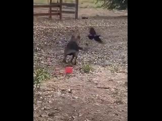 Этот собакен подружился с вороной, которая каждый день прилетает к нему, чтобы вместе поиграть