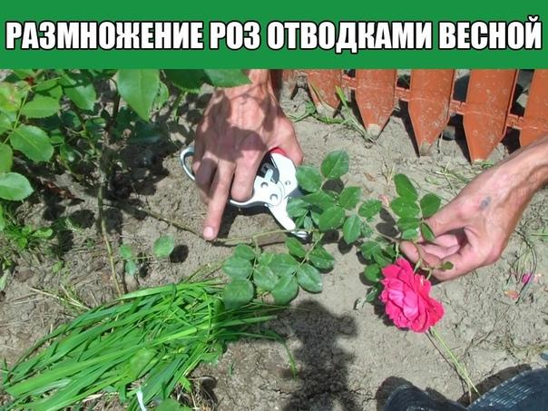 Размножение роз отводками весной своими руками Один из способов размножения роз получение их окольцованными горизонтальными отводками. В апреле начале мая у куста пригибают один или несколько