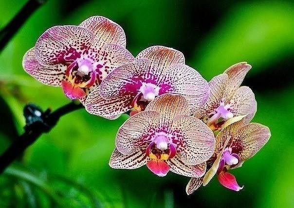 Если орхидея погибает Наверняка многим знакома такая картина: купленная в цветочном магазине орхидея цветет буйно, растение выглядит здоровым, но после завершения цветения начинает чахнуть с
