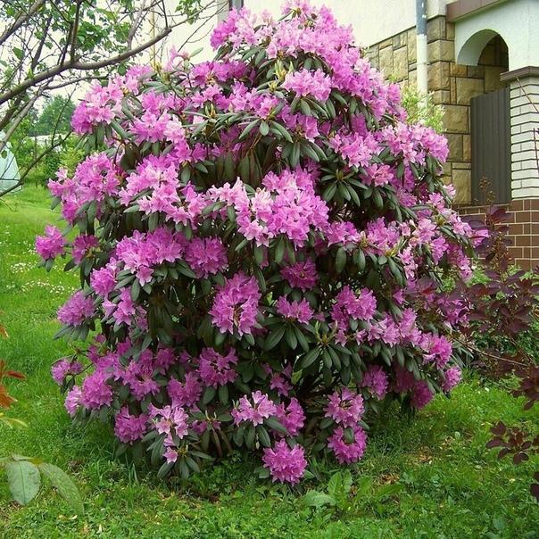 Рододендрон  великолепное растение с длительным периодом цветения и яркий акцент для любой зоны на участке