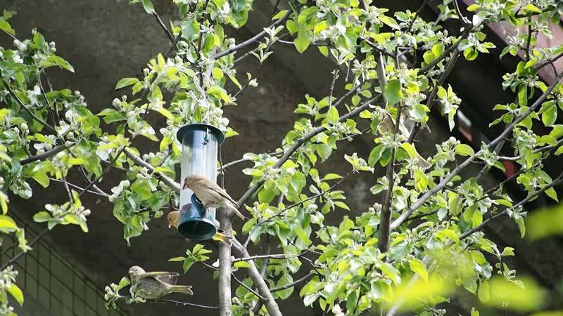 Птицы зеленушки у кормушки