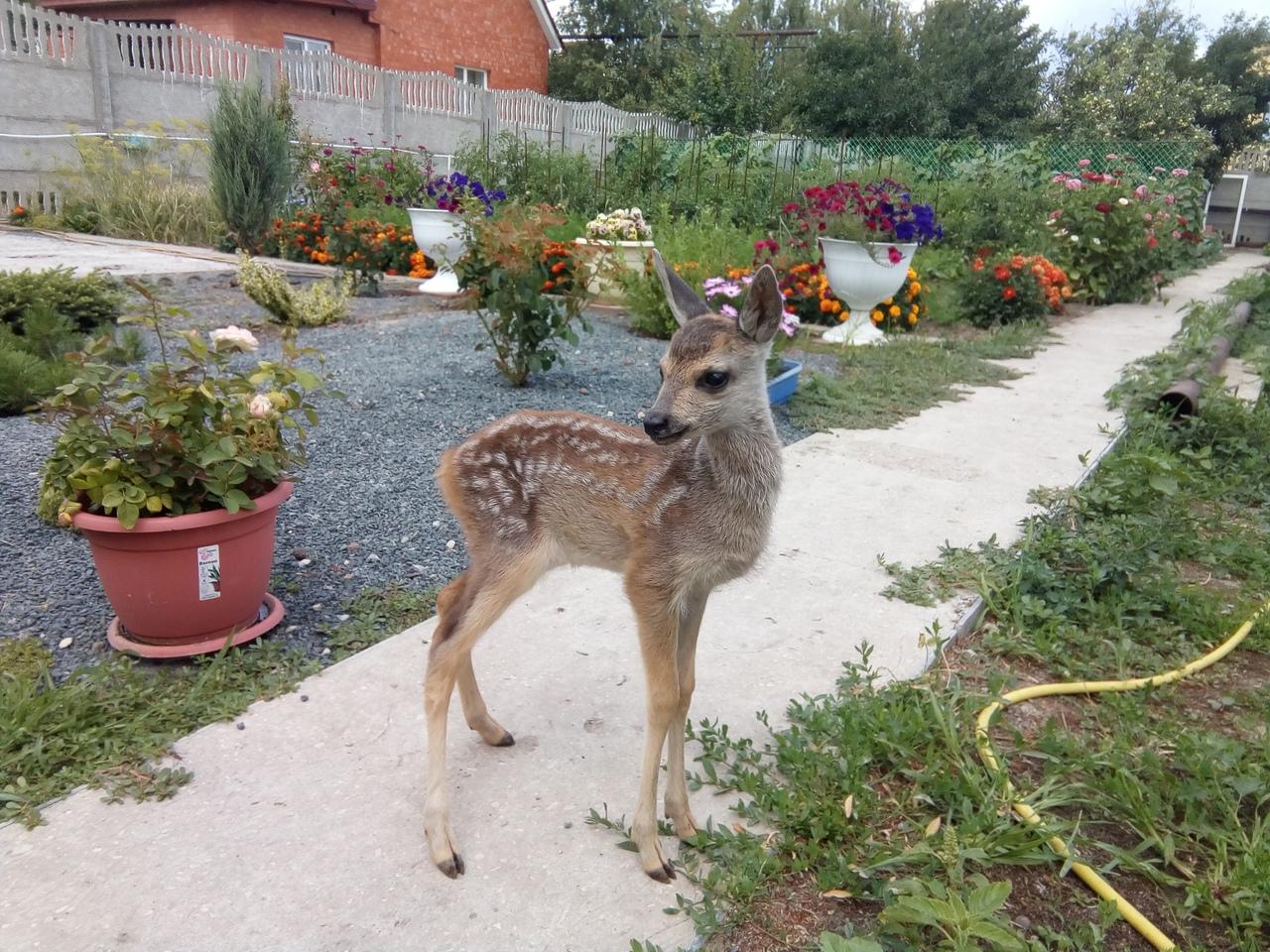 Жители села Оркино Петровского района поделились историей спасения оленёнка