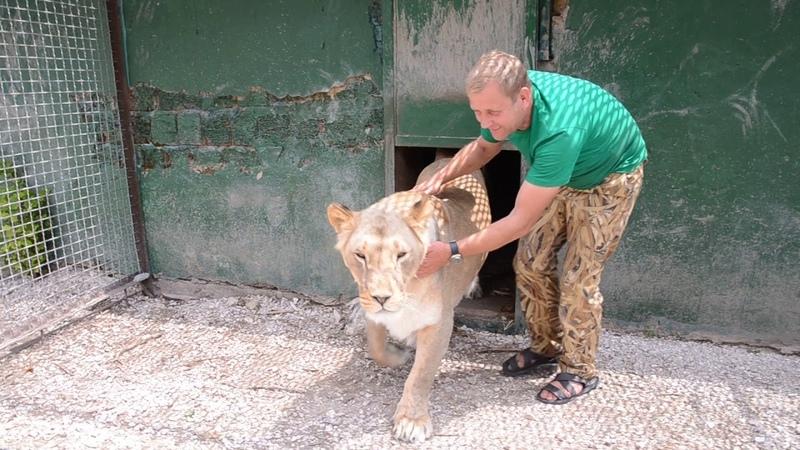 УРА Львица Мама Чоли родила The lioness Mother choli gave birth !!