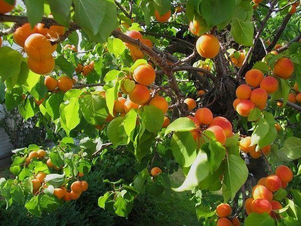 Восточная экзотика. Абрикос-южанин. Но уж так устроен человек-чего у него нет,того больше хочется. Впервые в Москву абрикосы под названием абрикосовые яблоки попали ещё в середине 17 века. Но