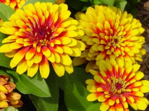 ЦИНИЯ Циния - необыкновенно колоритное растение, отличающееся широким спектром ярких сочных окрасок, украшающих сад летом и особенно осенью в сочетании с буйством красок окружающей природы.
