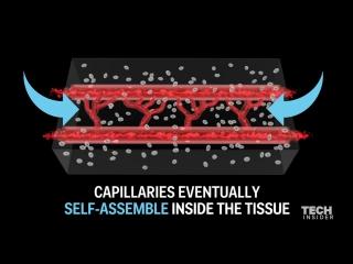Ученые обнаружили удивительный способ создания живых кровеносных сосудов с нуля