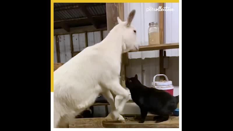 у этой козы должны были начаться схватки и ее утешила лучшая подруга котейка