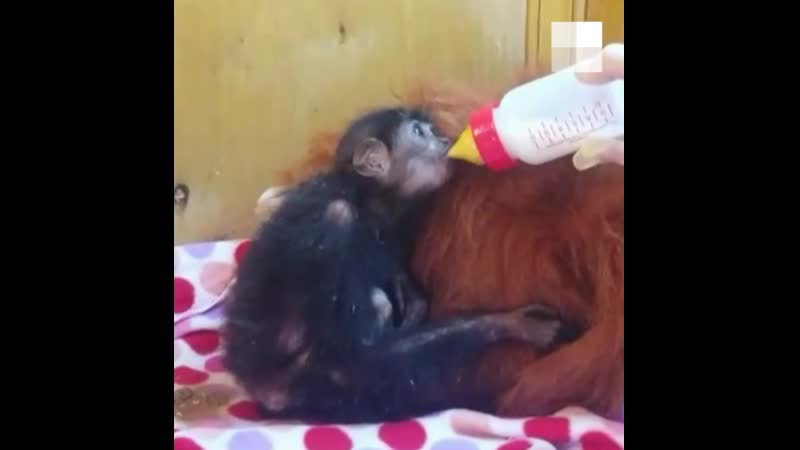 На таможне забрали обезьян