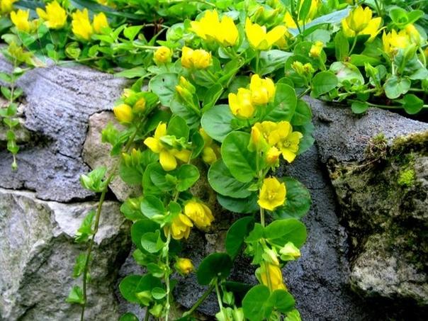 ВЕРБЕЙНИК МОНЕТЧАТЫЙ Вербейник монетчатый это многолетнее травянистое растение со стелющимися стеблями и одиночными желтыми цветками в пазухах листьев. Это растение очень любит влагу и лучше