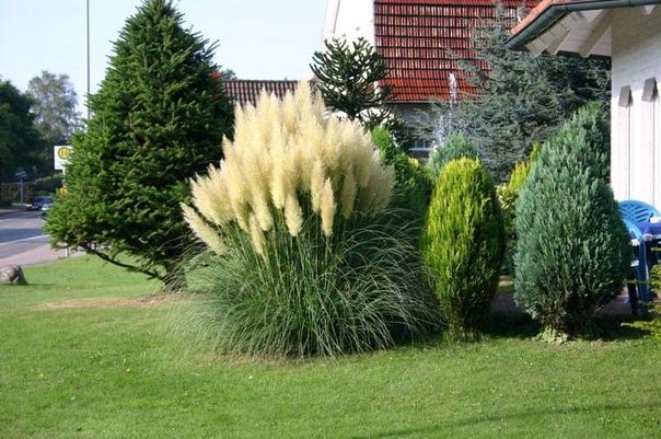 Пампасная трава - украшение участка
