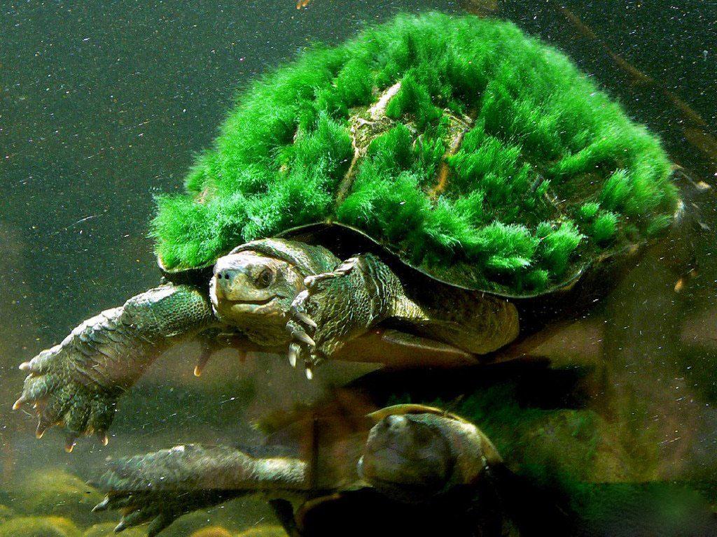 Австралийская мохнатая черепаха.