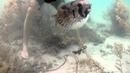 Porcupine fish rescue