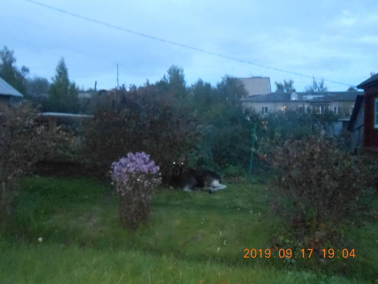По улице около школы в Кимрах бегал взрослый испуганный лось | Видео