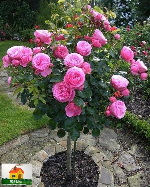 Какая красивая роза на штамбе.
