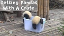 How To Get Baby Pandas With A Plastic Crate? | iPanda