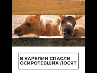 В Карелии спасли осиротевших лосят