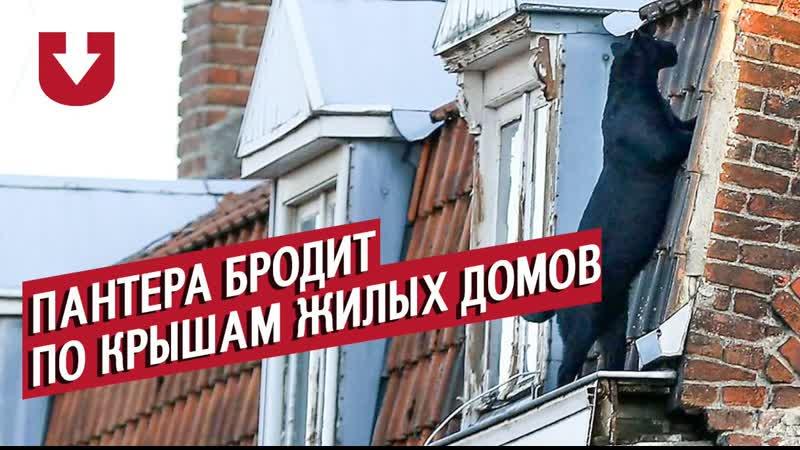 Черная пантера бродила по крышам жилых домов во Франции