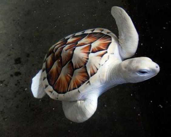 Морская черепаха-альбинос, 1 из 10000