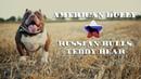 Американский Булли - RUSSIAN BULLS TEDDY BEAR