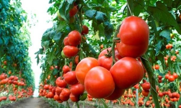 Выращивание высокорослых томатов Все мы, огородники, с уважением относимся к томатам (или помидорам, если угодно), можно сказать, считаем их «третьим хлебом». Но некоторые их виды многим не