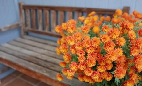 Хризантемы на зиму правильный уход в конце сезона. Некоторые садоводы уверены: хризантема настолько неприхотливое и выносливое растение, что какой-либо особой подготовки к зимнему сезону