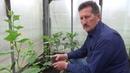 Выращивание огурцов в теплице привитые на разные подвои.