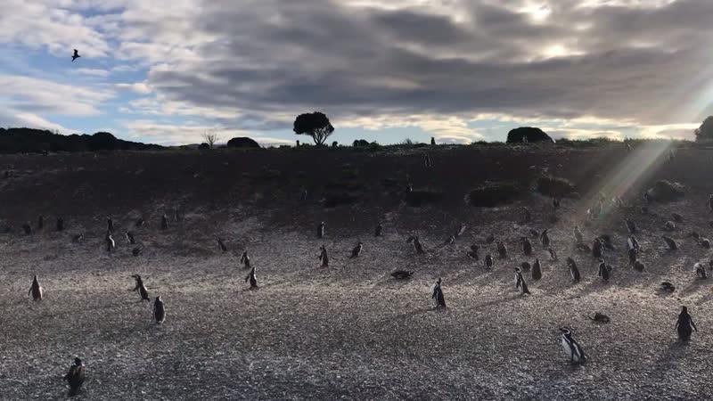 Колония пингвинов Аргентина Огненная земля