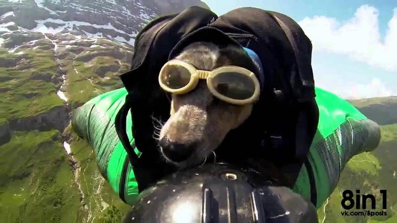 Собака парашютист в вингсьюте бейс джампинг The first dog skydiver in wingsuit in the world