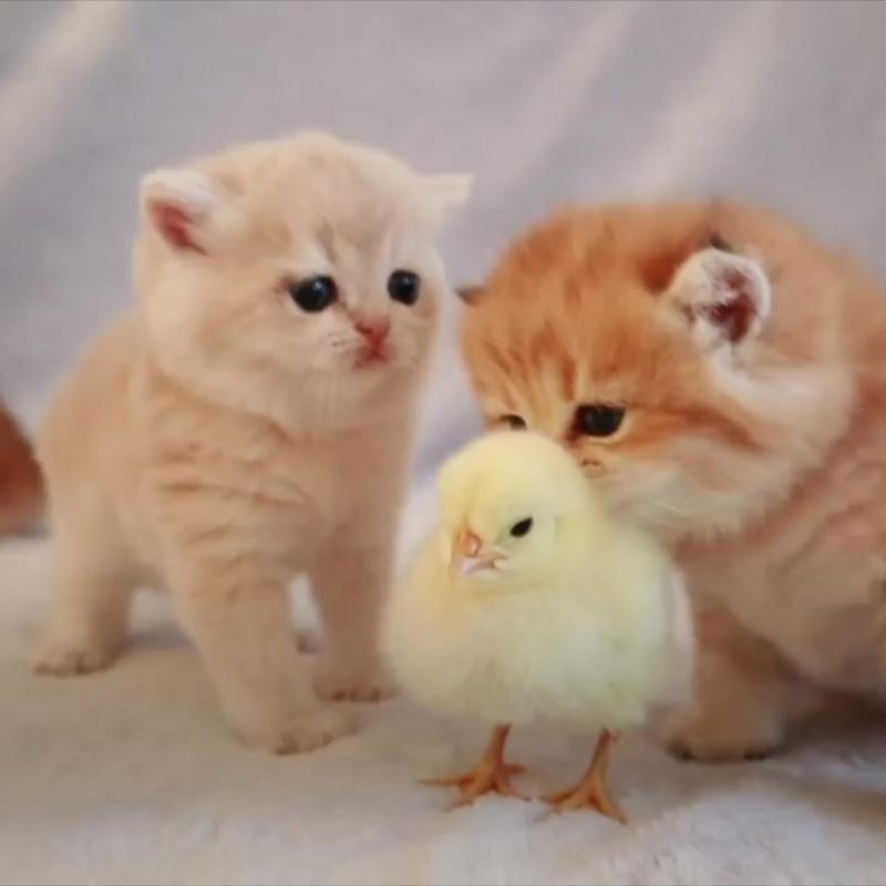 Котята впервые видят цыпленка