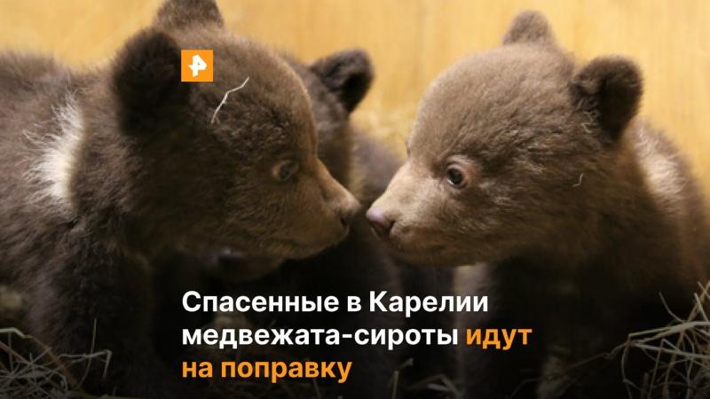 В Твери спасают карельских медвежат сирот