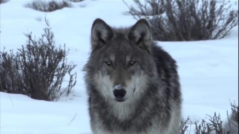 Настя Полева Белые волки