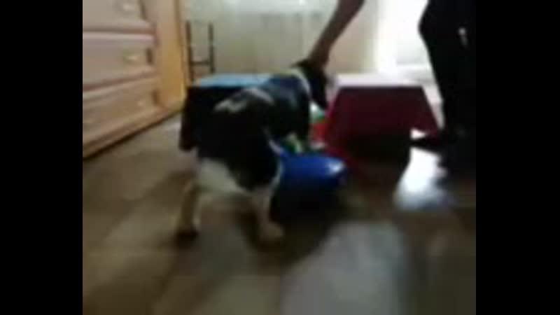Новый студент 🐾🐾 (2е занятие)  Знакомьтесь , Гоша, общительный, весёлый, очень сообразительный малыш Кавалер Кинг Чарльз сп