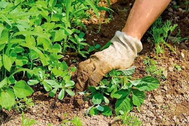 Борьба с сoрняками «по-умнoму» Можно потерять все лето, мучaясь с этой настоящей проблемой садовода. Между тем, есть несколько правил, которые в 10 раз сократят необходимость пpополки.1. Мульча.