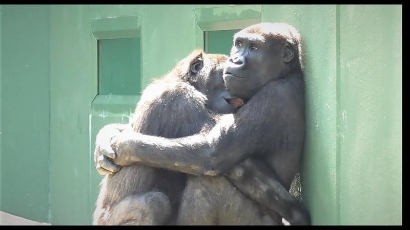Shabani シャバーニ🦍 Gorilla family is energetic ゴリラの家族は元気です キヨマサ、アニー、ア