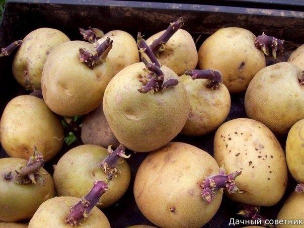 Какие меры при проращивании помогают получить хороший урожай картофеля