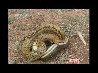 ЗМЕЯ ''Шэ''. Всякий раз, когда температура опускается ниже 7  C, змеи впадают в спячку, без еды и питья.