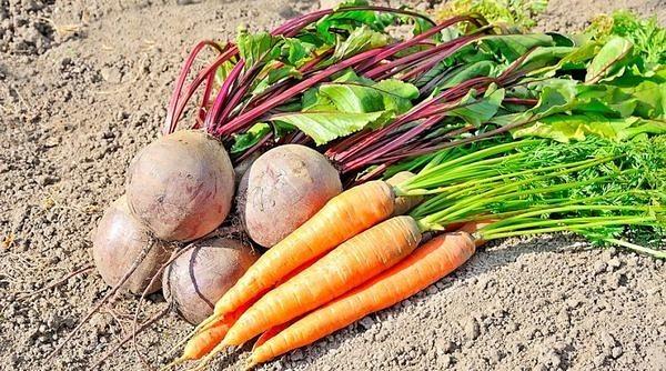 Пять лучших средств для подкормки свеклы и моркови: Хотите вырастить вкусную, крупную, здоровую морковь и свёклу, которые станут гордостью осеннего сбора урожая Не забудьте подкормить растения