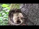Опасное место в лесу. Осы и осиное гнездо в дереве.