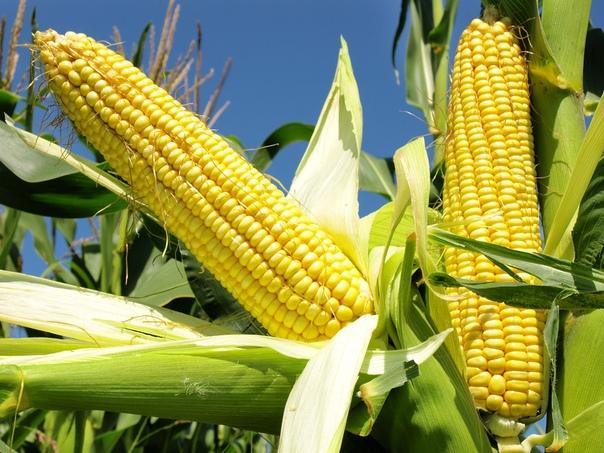 Как правильно посадить кукурузу