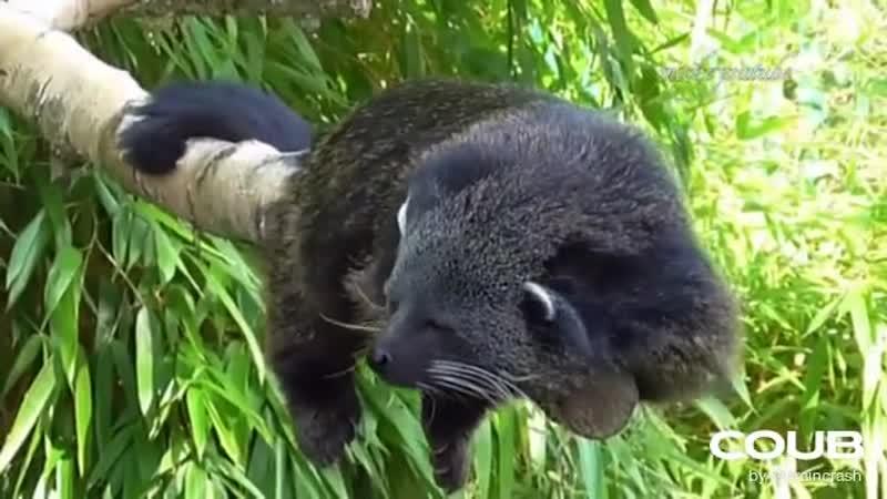 Бинтуронг или кошачий медведь Binturong (Bearcat)