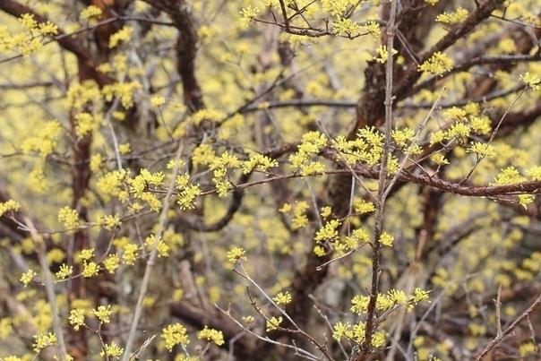 КИЗИЛ: ПОСАДКА, ВЫРАЩИВАНИЕ, УХОД Жителям средних широт иметь такого «красавца» у себя в саду проблематично, хотя само растение не требует особенного ухода. Все дело в том, что кизил начинает