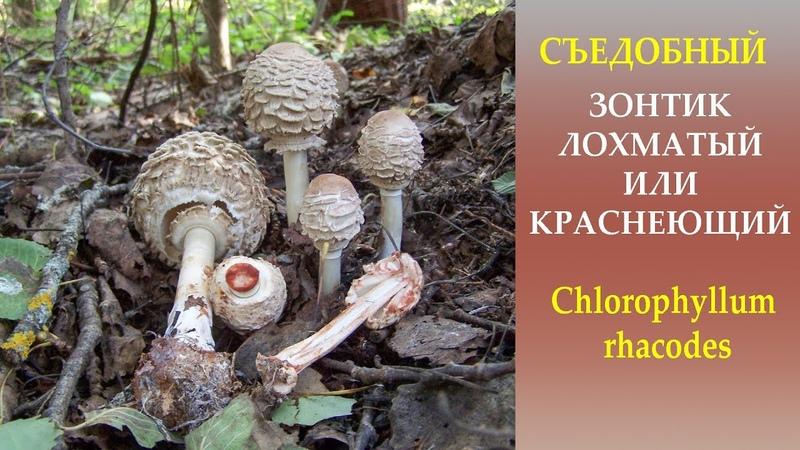 Съедобный Гриб зонтик лохматый или краснеющий Chlorophyllum rhacodes